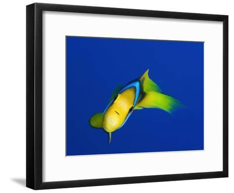 A Clarks Anemonefish, Amphiprion Clarkii-Mauricio Handler-Framed Art Print