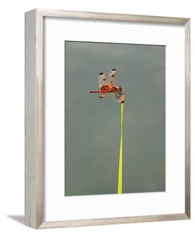 Calico Pennant Dragonfly, Calisthemis Elisa, Hunting from Pickerel Weed-Bates Littlehales-Framed Art Print