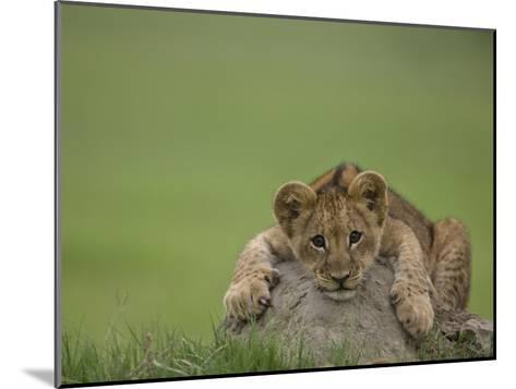 African Lion Cub, Panthera Leo, Lying across a Mound of Soil-Beverly Joubert-Mounted Photographic Print