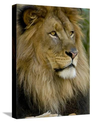 Portrait of a Resting Male African Lion, Panthera Leo-Paul Sutherland-Stretched Canvas Print