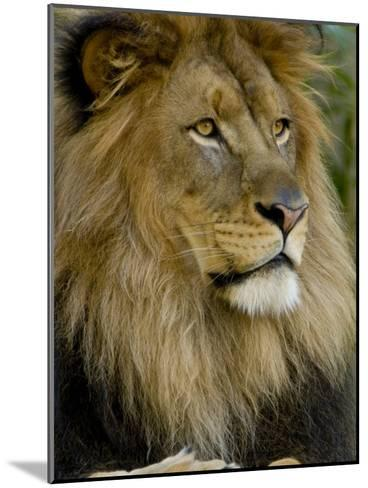 Portrait of a Resting Male African Lion, Panthera Leo-Paul Sutherland-Mounted Photographic Print