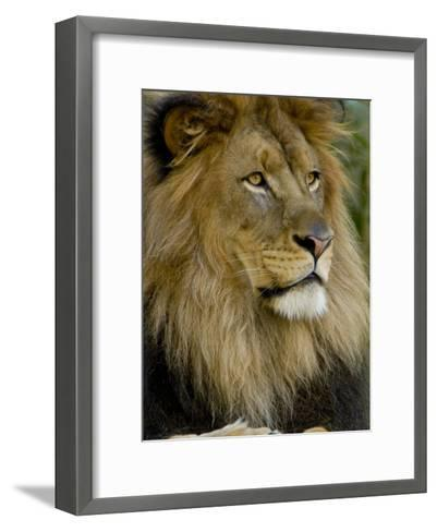 Portrait of a Resting Male African Lion, Panthera Leo-Paul Sutherland-Framed Art Print