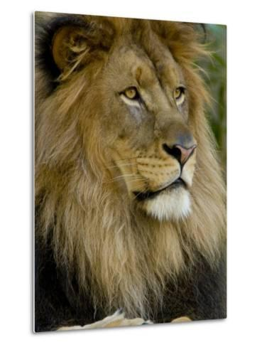 Portrait of a Resting Male African Lion, Panthera Leo-Paul Sutherland-Metal Print