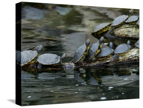 11 Turtles Bask on a Log in the Sun-Brian Gordon Green-Stretched Canvas Print