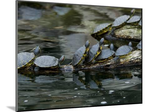 11 Turtles Bask on a Log in the Sun-Brian Gordon Green-Mounted Photographic Print