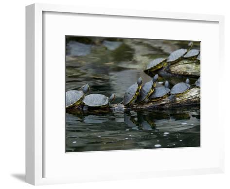 11 Turtles Bask on a Log in the Sun-Brian Gordon Green-Framed Art Print