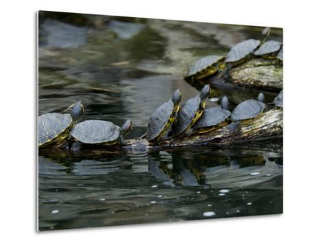 11 Turtles Bask on a Log in the Sun-Brian Gordon Green-Metal Print