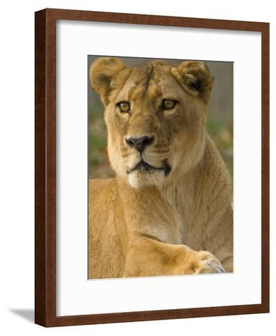 Portrait of a Female African Lion, Panthera Leo-Paul Sutherland-Framed Art Print