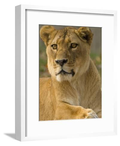 Portrait of a Female African Lion, Panthera Leo-Paul Sutherland-Framed Art Print