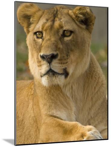 Portrait of a Female African Lion, Panthera Leo-Paul Sutherland-Mounted Photographic Print