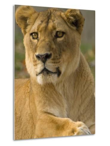 Portrait of a Female African Lion, Panthera Leo-Paul Sutherland-Metal Print