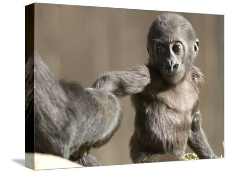 A Baby Gorilla, Gorilla Species, Holding and Adult's Hand-Paul Sutherland-Stretched Canvas Print