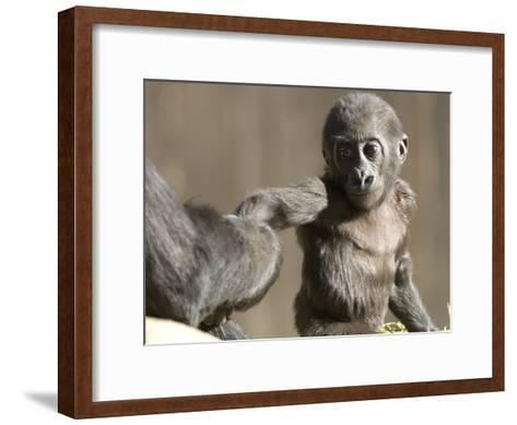 A Baby Gorilla, Gorilla Species, Holding and Adult's Hand-Paul Sutherland-Framed Art Print