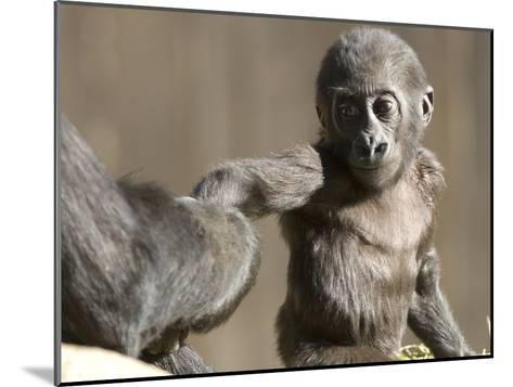 A Baby Gorilla, Gorilla Species, Holding and Adult's Hand-Paul Sutherland-Mounted Photographic Print