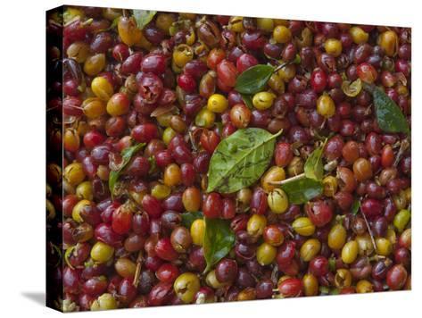 Coffee Beans Harvested at a Plantation on the Side of Masaya Volcano-Karen Kasmauski-Stretched Canvas Print
