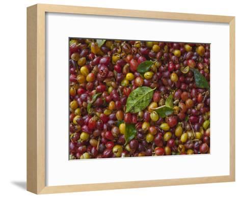 Coffee Beans Harvested at a Plantation on the Side of Masaya Volcano-Karen Kasmauski-Framed Art Print