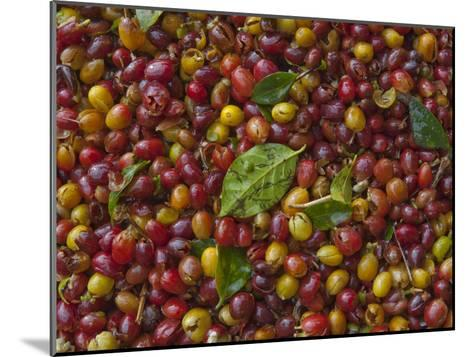Coffee Beans Harvested at a Plantation on the Side of Masaya Volcano-Karen Kasmauski-Mounted Photographic Print