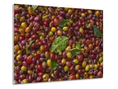 Coffee Beans Harvested at a Plantation on the Side of Masaya Volcano-Karen Kasmauski-Metal Print