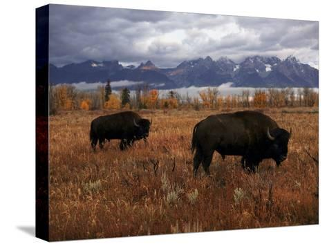 Buffalo Grazing in Grand Teton National Park-Aaron Huey-Stretched Canvas Print