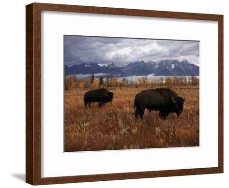 Buffalo Grazing in Grand Teton National Park-Aaron Huey-Framed Art Print