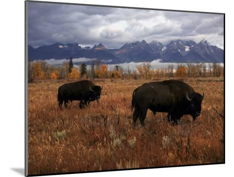 Buffalo Grazing in Grand Teton National Park-Aaron Huey-Mounted Photographic Print
