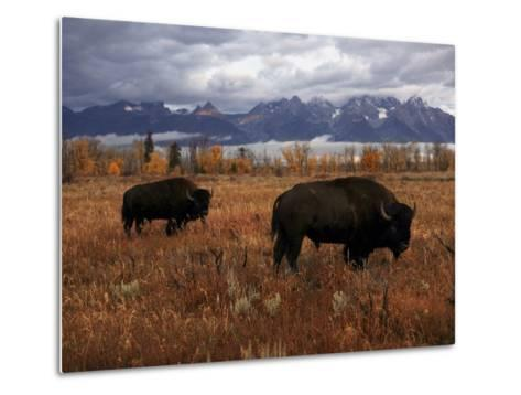 Buffalo Grazing in Grand Teton National Park-Aaron Huey-Metal Print