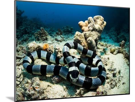 A Banded Sea Snake, Laticauda Colubrina, Sleeps on the Ocean Floor-Mauricio Handler-Mounted Photographic Print