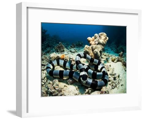 A Banded Sea Snake, Laticauda Colubrina, Sleeps on the Ocean Floor-Mauricio Handler-Framed Art Print