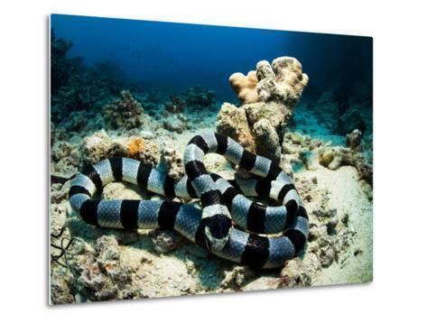 A Banded Sea Snake, Laticauda Colubrina, Sleeps on the Ocean Floor-Mauricio Handler-Metal Print