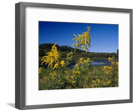 Scenic View of Goldenrod Flowers and Waterways-Raymond Gehman-Framed Art Print