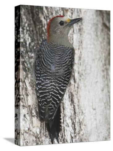 Golden-Fronted Woodpecker, Melanerpes Aurifrons Leei, on a Tree Trunk-Roy Toft-Stretched Canvas Print