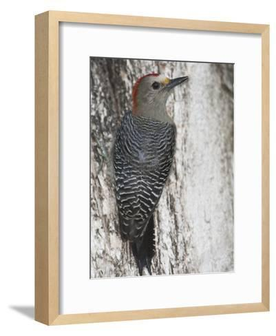 Golden-Fronted Woodpecker, Melanerpes Aurifrons Leei, on a Tree Trunk-Roy Toft-Framed Art Print