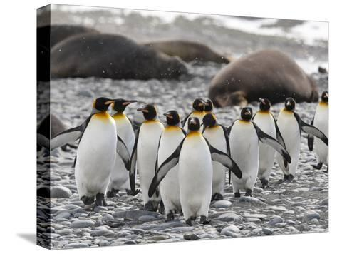 King Penguins Walking Past Sleeping Southern Elephant Seals-Roy Toft-Stretched Canvas Print