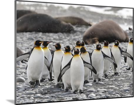 King Penguins Walking Past Sleeping Southern Elephant Seals-Roy Toft-Mounted Photographic Print
