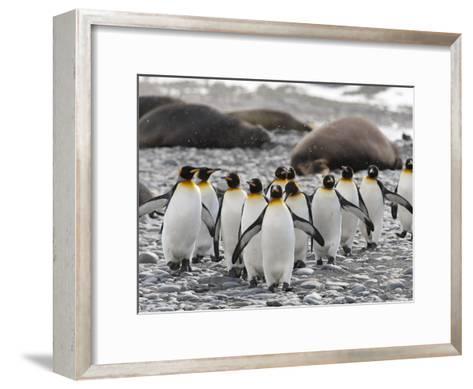 King Penguins Walking Past Sleeping Southern Elephant Seals-Roy Toft-Framed Art Print
