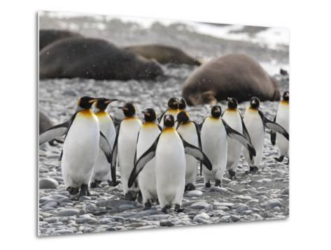 King Penguins Walking Past Sleeping Southern Elephant Seals-Roy Toft-Metal Print