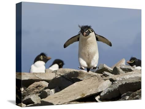 Macaroni Penguin, Eudyptes Chrysolophus, Hopping from Rock to Rock-Roy Toft-Stretched Canvas Print