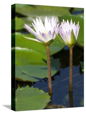 Tropical Water Lilies, Nymphaea Species, Growing in a Thermal Pond-Joe Petersburger-Stretched Canvas Print