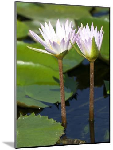 Tropical Water Lilies, Nymphaea Species, Growing in a Thermal Pond-Joe Petersburger-Mounted Photographic Print
