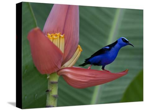 Red-Legged Honeycreeper, Cyanerpes Cyaneus, on a Banana Flower-Roy Toft-Stretched Canvas Print