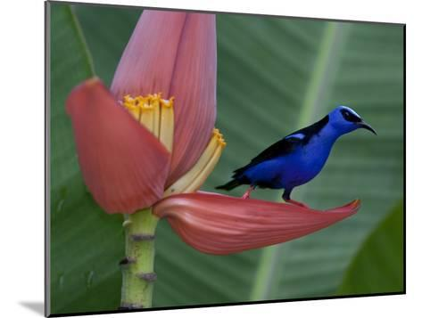 Red-Legged Honeycreeper, Cyanerpes Cyaneus, on a Banana Flower-Roy Toft-Mounted Photographic Print