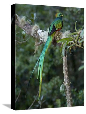 Resplendent Quetzal, Pharomachrus Mocinno, Bird Perched in a Tree-Roy Toft-Stretched Canvas Print