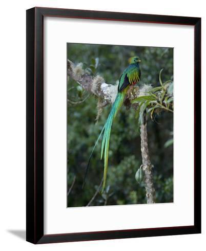 Resplendent Quetzal, Pharomachrus Mocinno, Bird Perched in a Tree-Roy Toft-Framed Art Print