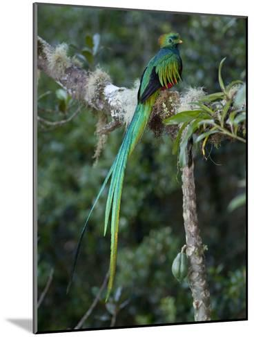 Resplendent Quetzal, Pharomachrus Mocinno, Bird Perched in a Tree-Roy Toft-Mounted Photographic Print