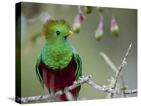 Close Up of a Resplendent Quetzal, Pharomachrus Mocinno, in a Tree-Roy Toft-Stretched Canvas Print