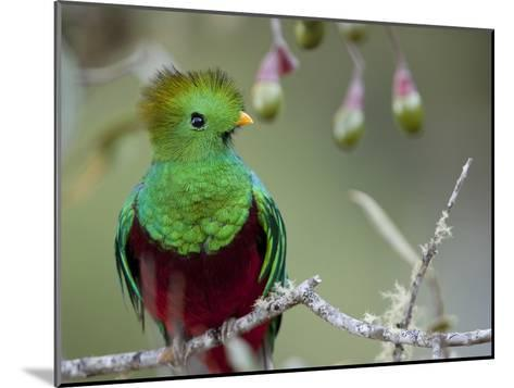 Close Up of a Resplendent Quetzal, Pharomachrus Mocinno, in a Tree-Roy Toft-Mounted Photographic Print