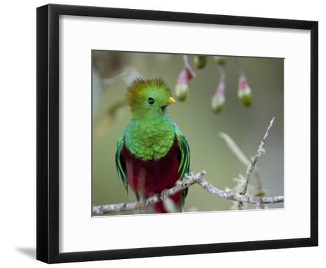 Close Up of a Resplendent Quetzal, Pharomachrus Mocinno, in a Tree-Roy Toft-Framed Art Print