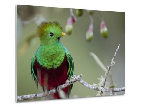 Close Up of a Resplendent Quetzal, Pharomachrus Mocinno, in a Tree-Roy Toft-Metal Print