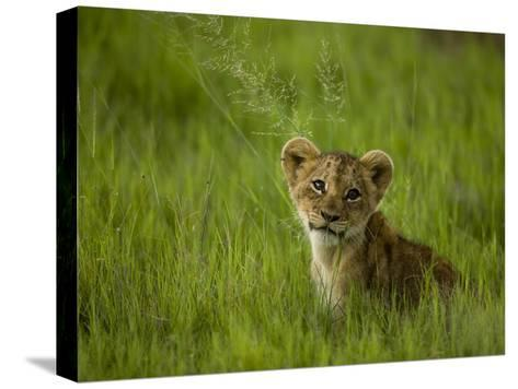 African Lion Cub, Panthera Leo, Portrait in Lush Grass-Beverly Joubert-Stretched Canvas Print