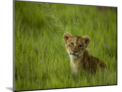 African Lion Cub, Panthera Leo, Portrait in Lush Grass-Beverly Joubert-Mounted Photographic Print